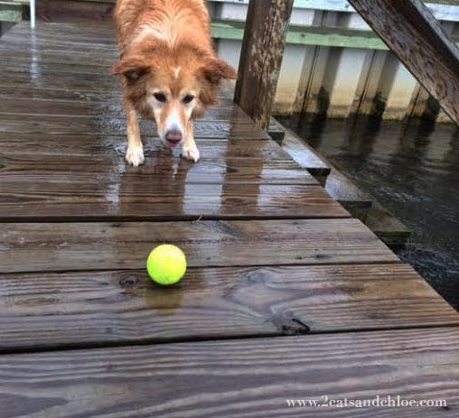 Blond Border Collie with Tennis Ball