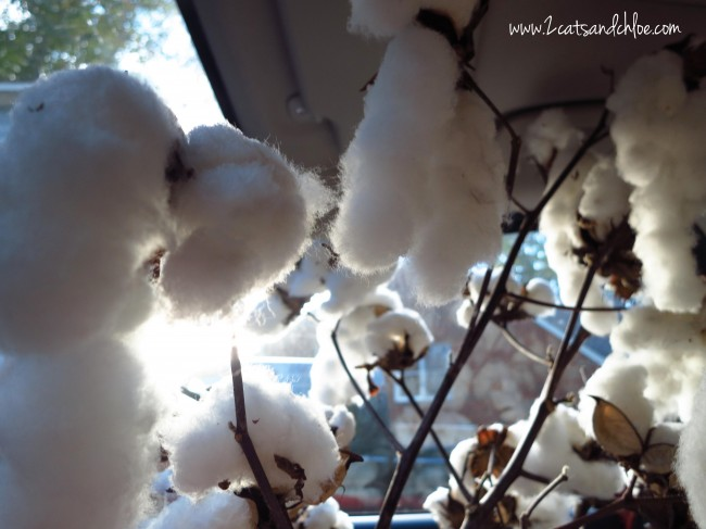 Plants of Cotton