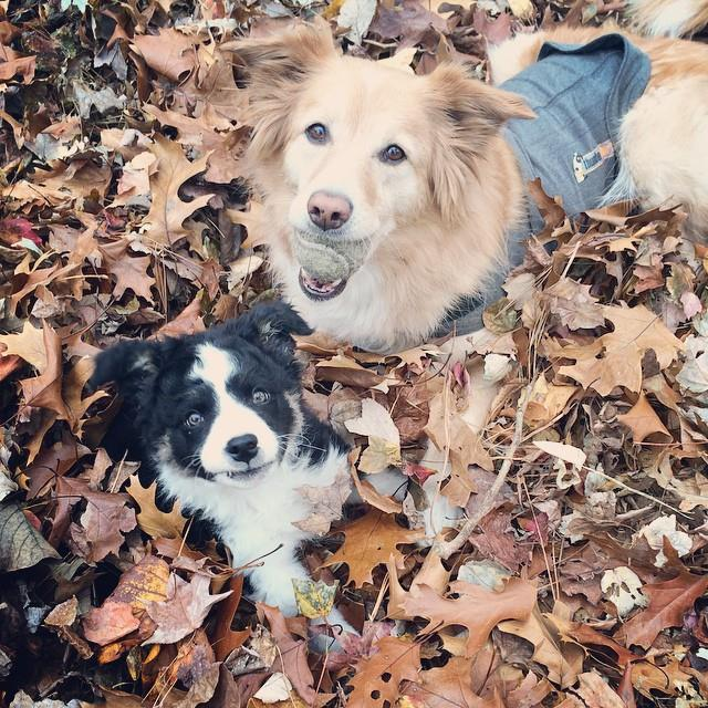 2 cats & chloe: cute border collies in leaves