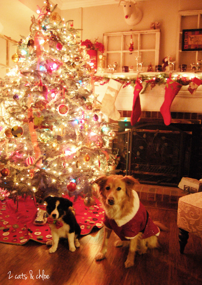 2 cats & chloe: puppy for christmas, border collie christmas
