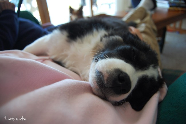 2 cats & chloe: Olivia Benson the Border Collie Partied Hard!