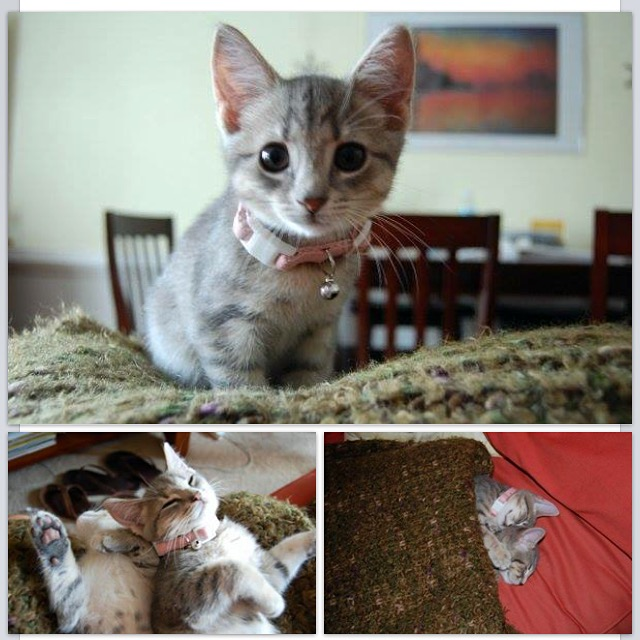 2 cats & chloe: Spitty as a Kitten