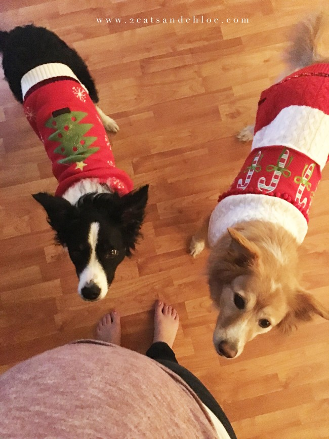 2 cats & chloe: Border Collies Wearing Tacky Christmas Sweaters