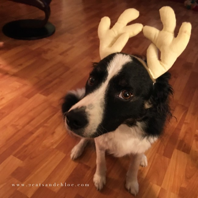 2 cats & chloe: December Confessions Holiday Border Collie